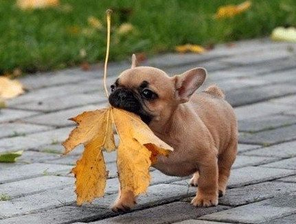 cute little frenchie