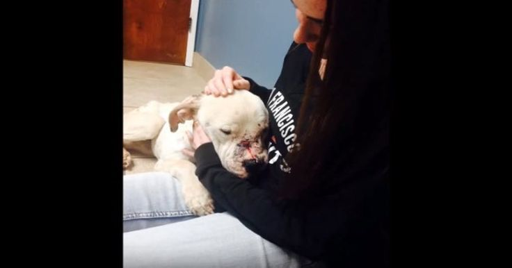 Huey was found in a rural area of Riverside County, California, and it was extremely obvious he'd spent his entire life as a bait dog. One woman made it her goal to free the pit bull from the nightmares that made him cry at night.