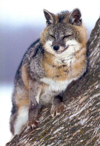 The Gray Fox - Information