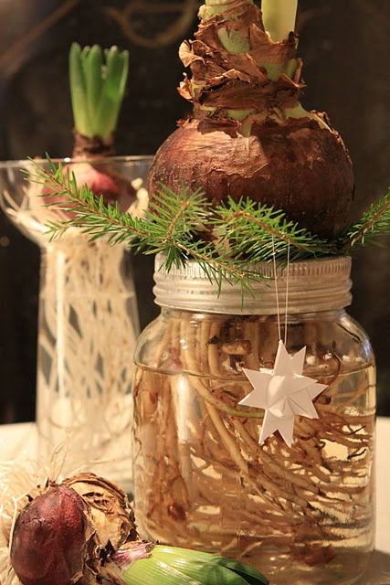 Amaryllis bulb rooted in canning jar...you've got to try this for Christmas, actually its a great way to welcome Spring too.