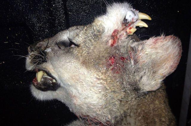 In Idaho è stato trovato morto un esemplare di puma, conosciuto anche come coguaro o leone di montagna, con una strana anomalia: sulla sua testa spuntavano infatti alcuni denti.