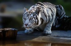 White Tiger Wallpapers Picture for HD Wallpaper Desktop 1920x1200 px 218.00 KB