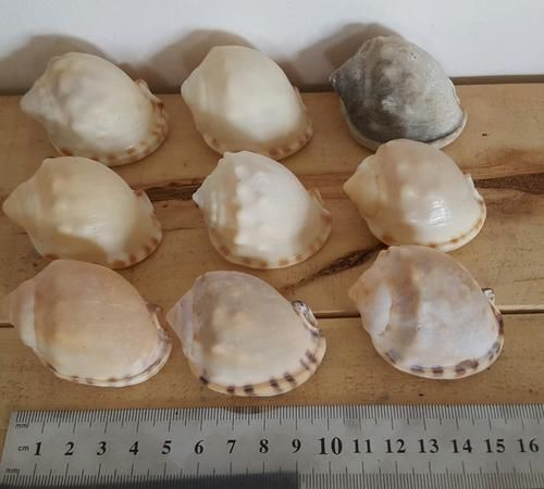 Buy Sea Shells  from Jeffreys Bay (cleaned handpicked) aquarium fish for R10.00