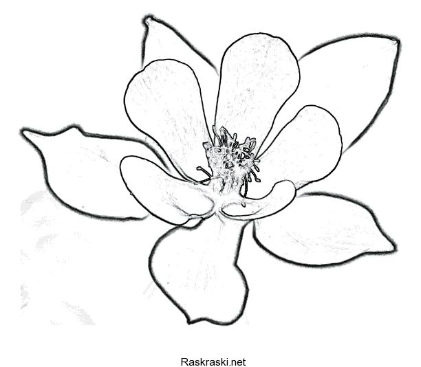 Columbine Flower Line Drawing : Best images about ophelia s flowers primary sketches on
