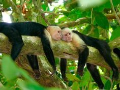 Interesting Capuchin monkey Facts: Capuchin monkeys are little compared to other primates. Description from goodsadapters.adapters-shops.com. I searched for this on bing.com/images
