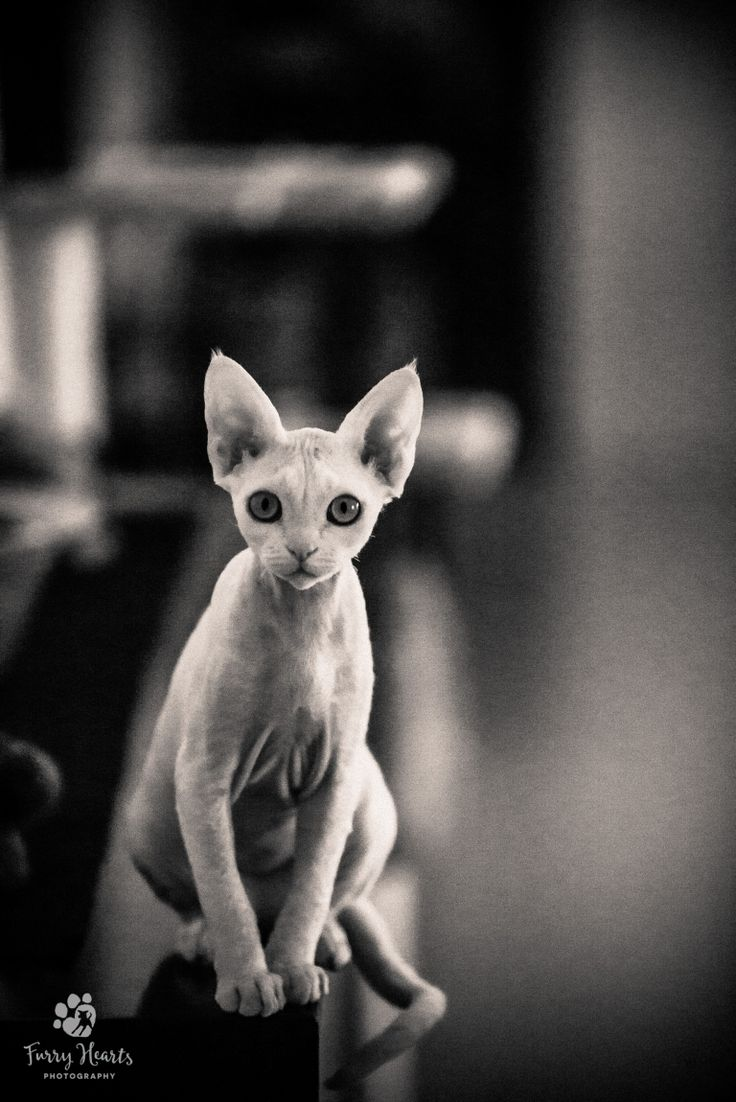 Black and white portrait of a sitting Devon Rex