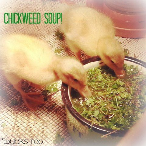 Basic Duckling Care - Raising Healthy Happy Ducks