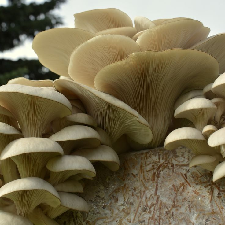 Boczniaki na beli z grzybnią - do własnej uprawy