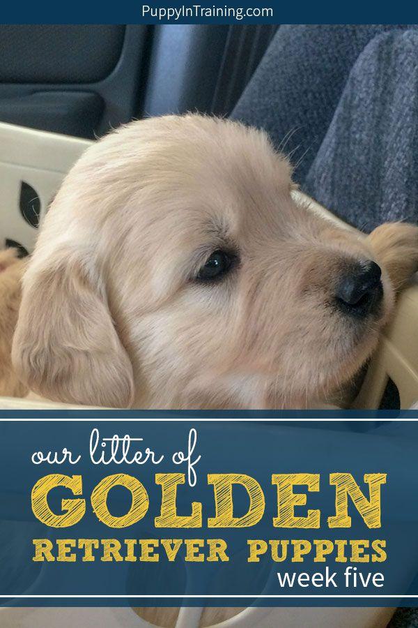 Our Litter Of Golden Retriever Pups Week 5 Dogs Golden