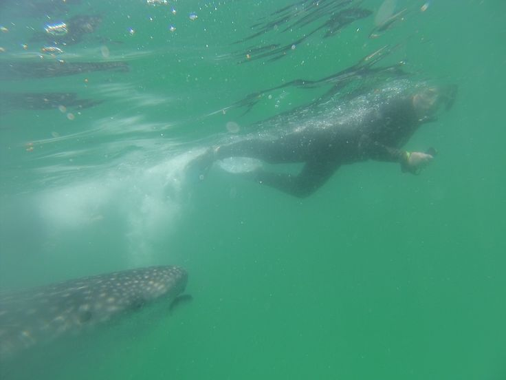 Me snorkeling with a whale shark in Mexico off the coast of Cancun