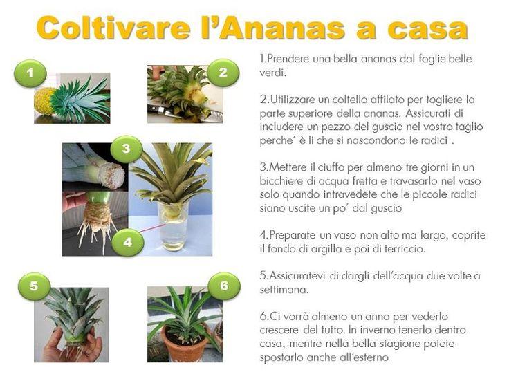 Come coltivare un ananas in casa????