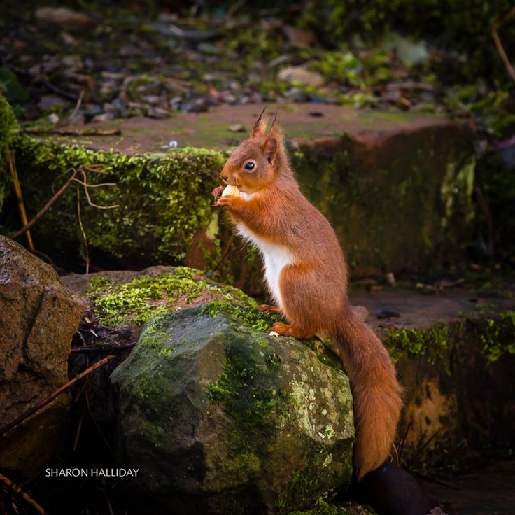 Red Squirrel Photography / Red squirrels Scotland