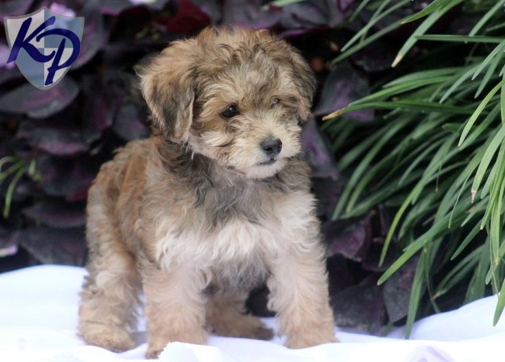 Havapoo Puppies - Also hypoallergenic and so cute