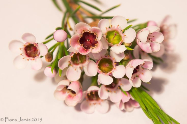 'Geraldton Wax' native Australian flower. studio lit, M mode, MF, tripod, remote, WB as shot, ISO200, FL55mm, 0.5sec, f/10, shot RAW, exported LR JPEG edits: contrast & exposure, cropped, sharpened, highlights & shadows clipped.