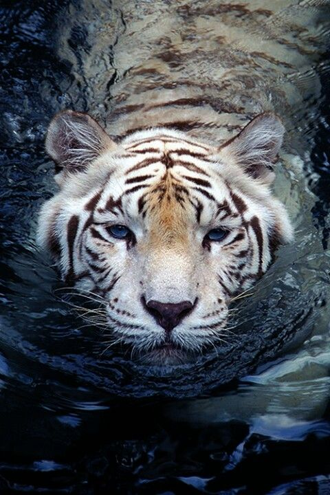.Love the white bengal tiger.