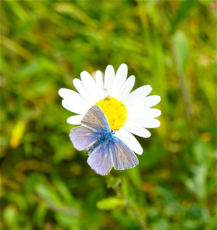 Blauwtje (vlindersoort) gefotografeerd in Zeewolde