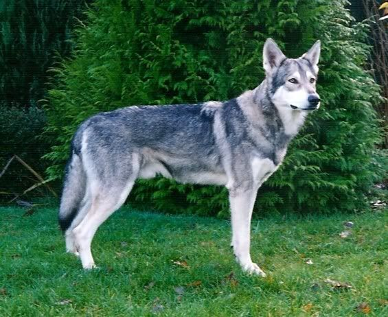 Saarlooswolfhond | Naam: Saarlooswolfhond, SWH