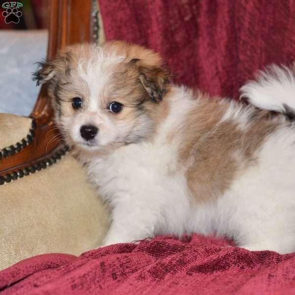 Samson Pomeranian Mix Puppy For Sale In Ohio Pomeranian Mix