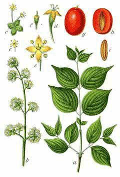 Cornus mas (Cornelian Cherry) good for Utah gardens