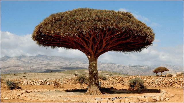 ソコトラ(イエメン・ソコトラ島) 真っ赤な樹液を出す不思議な木「竜血樹(リュウケツジュ)」