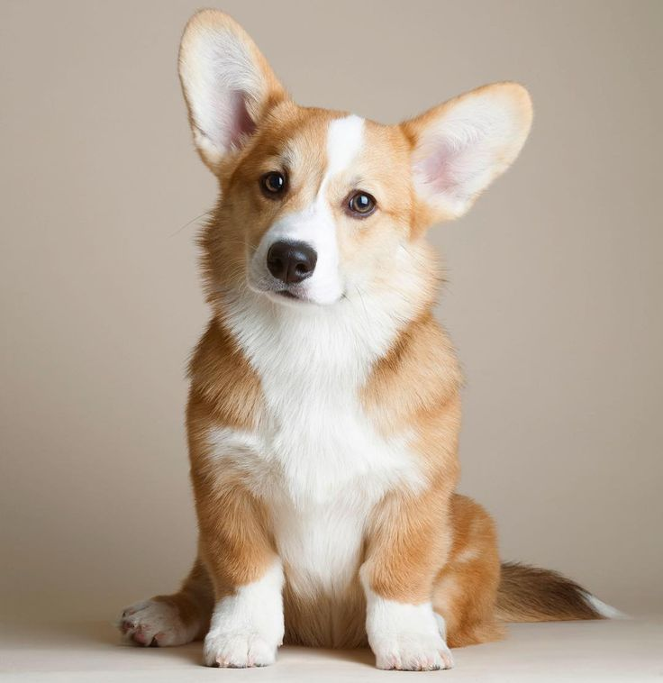 Corgi♡  Very similar to my Jossie.