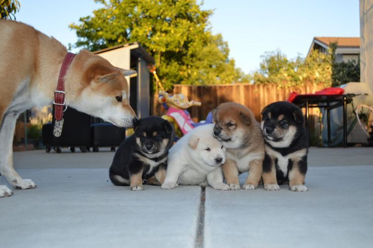 Four Shiba Inu puppies with their dad.