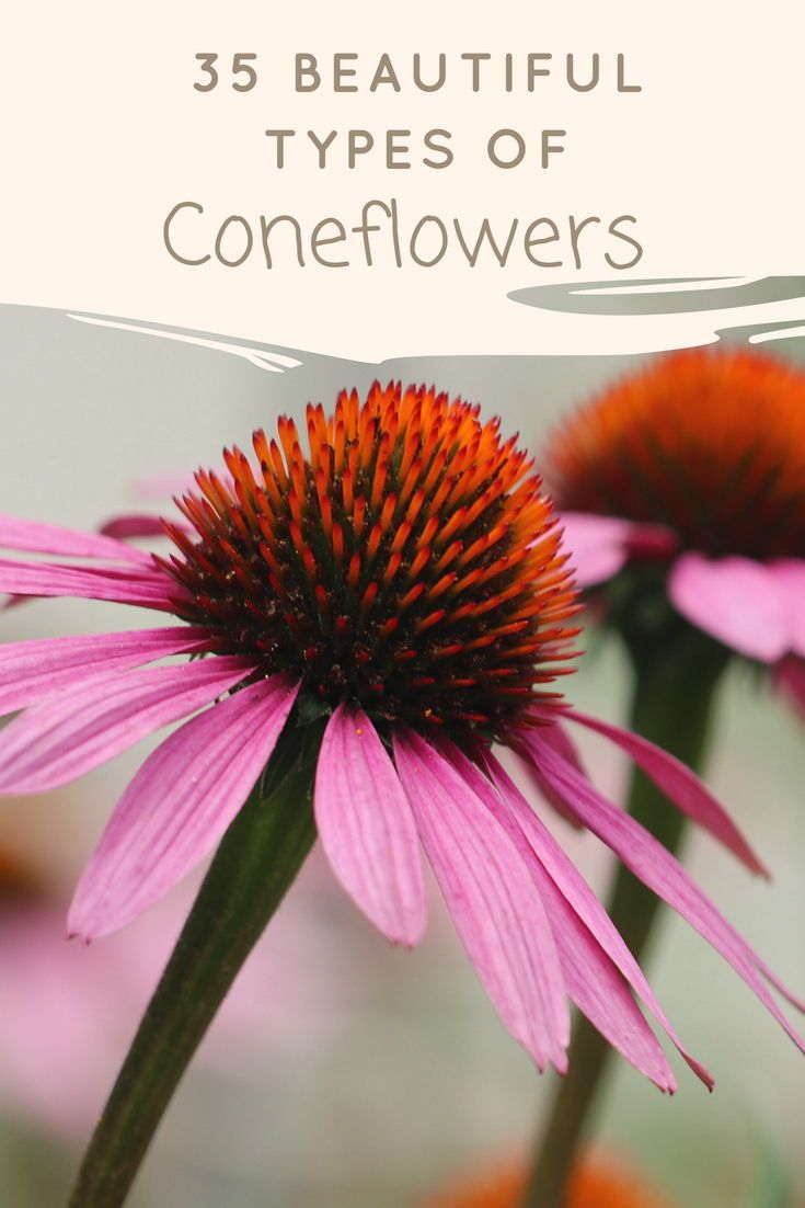 Cone Flowers Or Echinacea Commonly Grows In The Fields Grasslands And In The Meadows This Pi Different Types Of Flowers Types Of Flowers Flowers Perennials