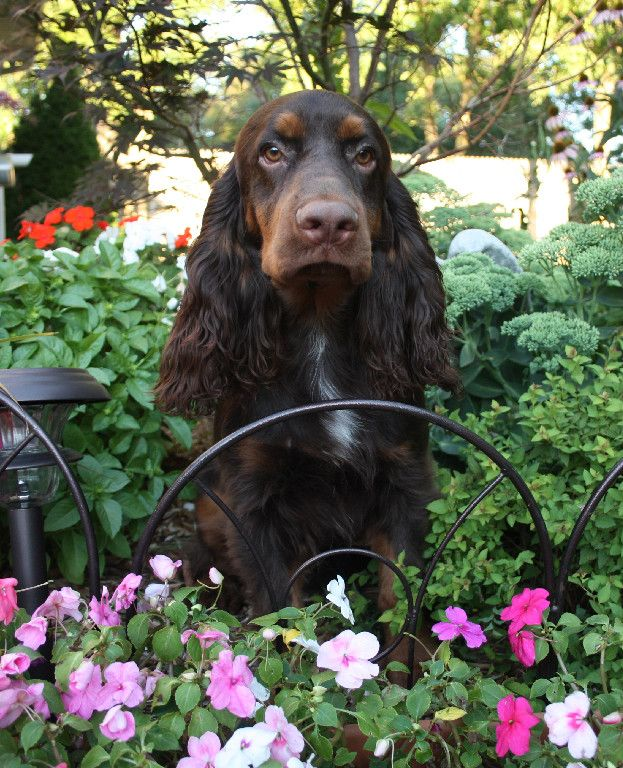 Field Spaniel ~ Classic Look & Trim ~ Calicos Partner in Crime