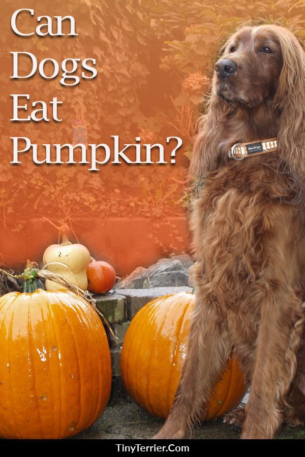 is pumpkin safe for dogs to eat