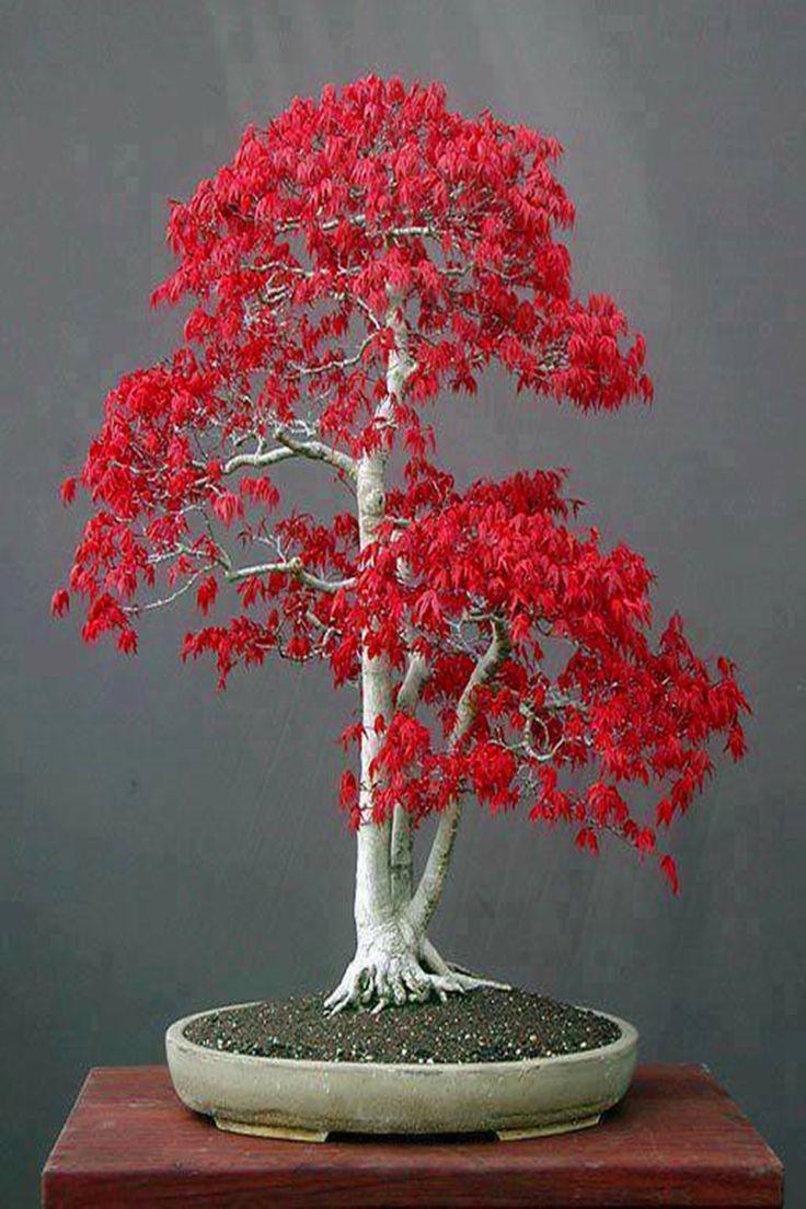 Bonsai Maple bonsai, Red maple bonsai, Japanese maple bonsai