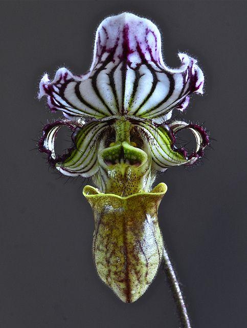 Paphiopedilum fairreanum