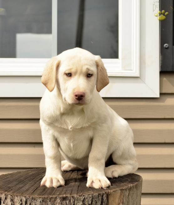 ♠Handsome Little Guy♠ #LabradorRetriever #Lab #Labrador #Retriever  #BuckeyePuppies #Puppies #Pups #Pup #Puppy #Funloving #Sweet #PuppyLove #Cute #Cuddly #ForTheLoveOfADog #MansBestFriend #dog #puppy #pets #animals #Dog #Pet #Pets #ChildrenFriendly #puppyandChildren #ChildandPuppy www.BuckeyePuppies.com