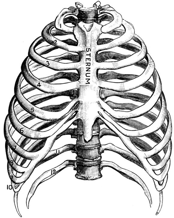 37 best images about rib cage ideas on pinterest | respiratory, Skeleton