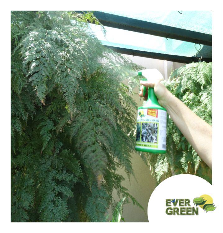🌿 Ever Green Helechos y Plantas Verdes  Estimula el crecimiento de brotes nuevos en helechos y plantas verdes, contiene aminoácidos y proteínas que son compuestos orgánicos que facilitan la disponibilidad de los nutrientes, permitiendo que sean absorbidos rápidamente por la planta  COMPOSICIÓN QUÍMICA P/V Nitrógeno (N) derivado de Proteína Hidrolizada ……………. 0.090 % Sulfato de Potasio (SO4K2) ……………………………… 0.080 % Boro (B) ……………………………………………… 0.020 % Cobre (Cu) ……………………………………………. 0.025 %