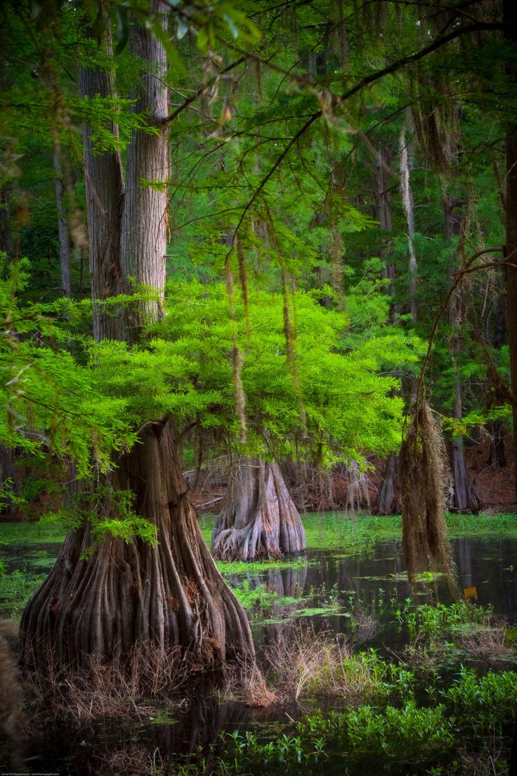 Cypress tree by Thomas Spayth ~ a Louisiana bayou*