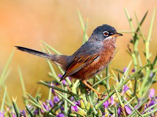 Tristram's Warbler by Adam Riley taken on a Rockjumper Birding Tour in Morocco.