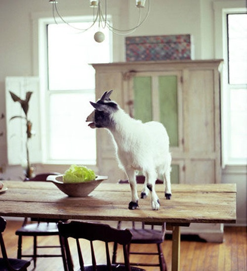 Let's put the goat on the table...@Chelsey Simpson!!! Next time you come visit I will do this for you.