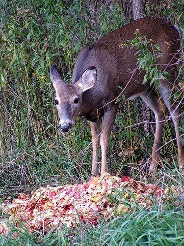 Food for Deer