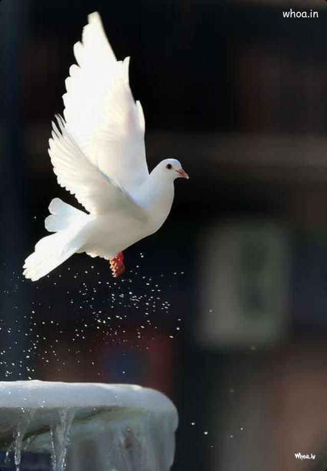 https://www.whoa.in/20131111-Whoa/flying-white-pigeon-image.jpg