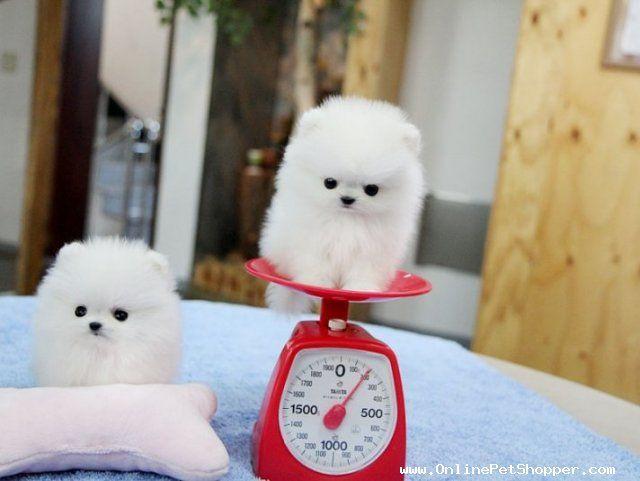 Tea Cup Pomeranian - Pesquisa Google