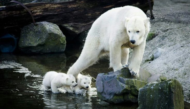 Mom watches her cubs carefully.