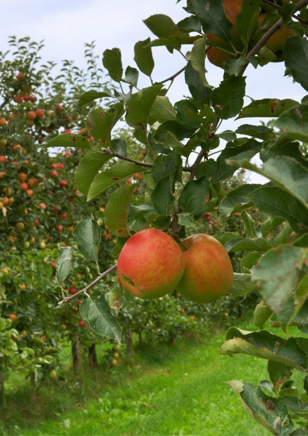 Brilliant Blogging Blossom Produce Thank Fruit Trees Darcy Info This What For You How Gethow To Get Fruit Trees Fruit Trees Fruit Growing Fruit
