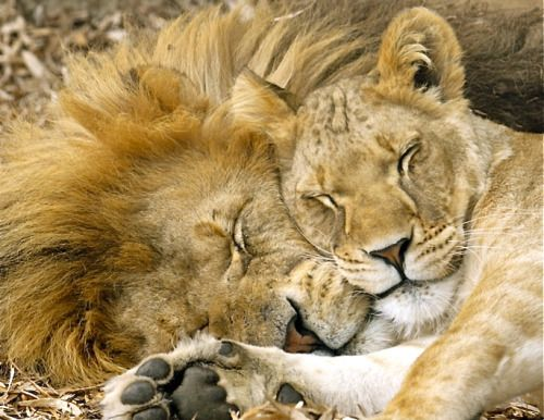 Nature And Culture Lions Sleeping Via Www Sunny1069