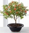 5 Year Pomegranate Indoor Bonsai Tree