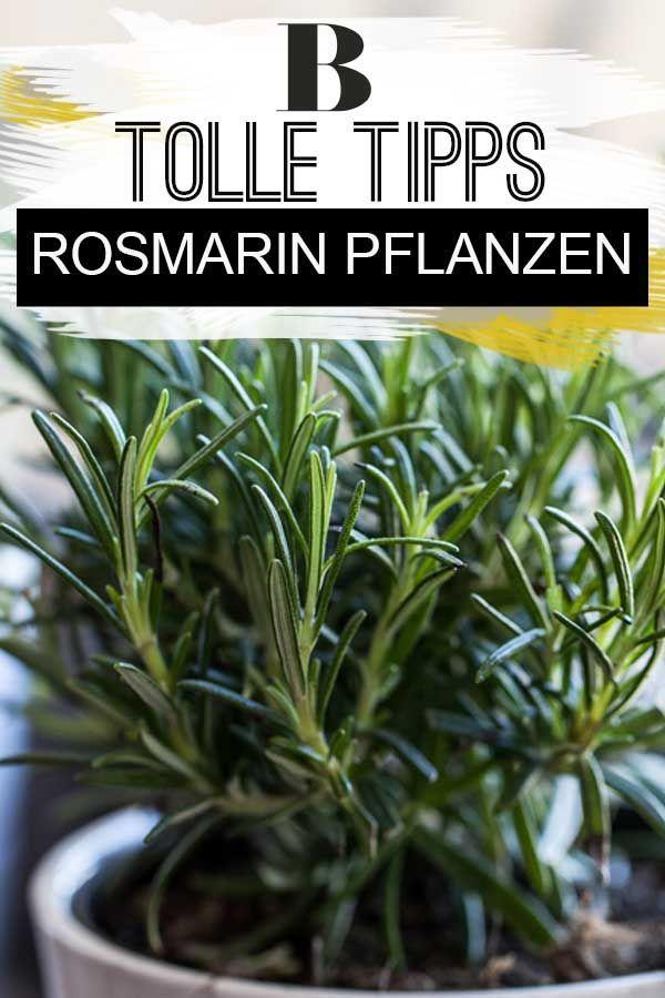Rosmarin Pflanzen Die Besten Tipps Balkon Garten Plants