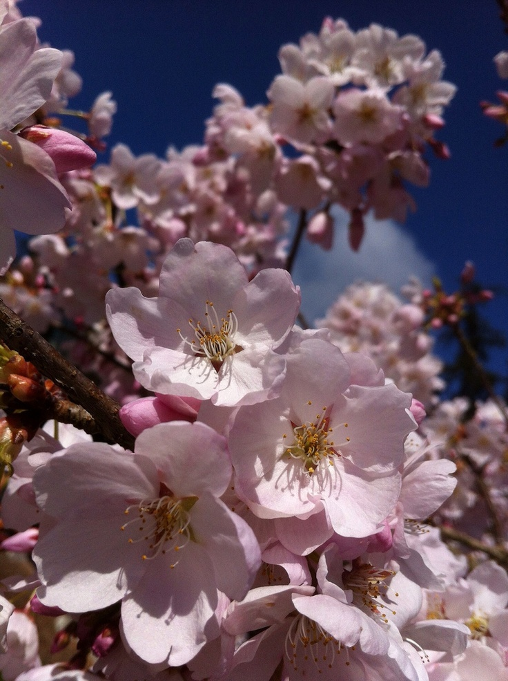 Cherry Blossoms are blooming!