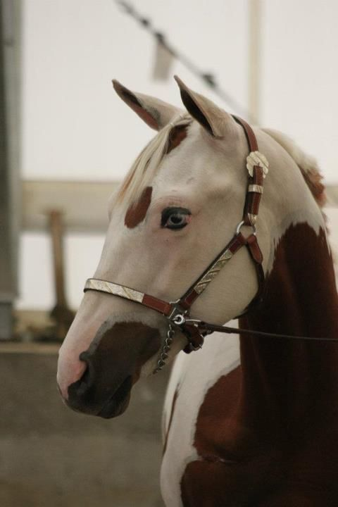 Paint horse with wild face markings