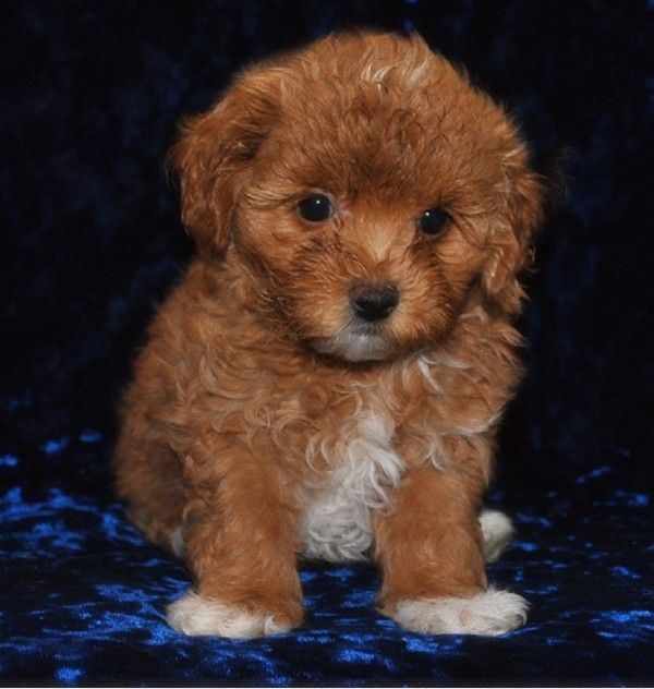 brown maltese poodle puppies | Zoe Fans Blog