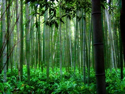 Bali bamboo forest