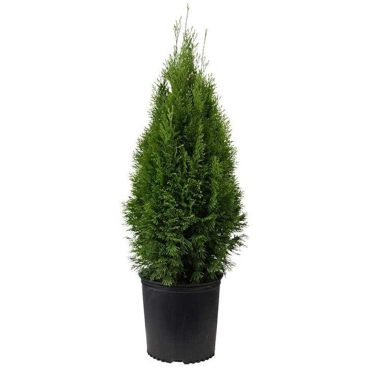 925 in pot emerald green arborvitaethuja live